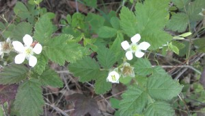 Blackberries have begun to bloom...and I must have taken a dozen pictures, not one came out clear and sharp. lol