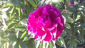 Bold and lovely, the peonies are opening.