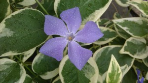 At ground level with the vinca, dewy from being watered.