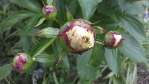 Most of the peonies in the neighborhood have opened; mine apparently sense my watchfulness. lol