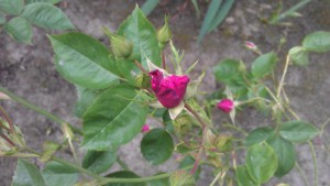 A mystery rose.