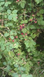 Blackberries - summer comes.