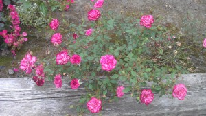 Roses blooming. My emotions are not relevant to their experience.
