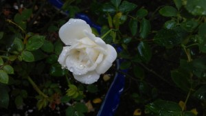 ...the 'Irresistible' beauty of a miniature rose on a rainy morning...
