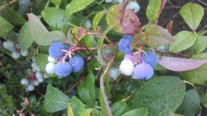 The blueberries are excellent this year!