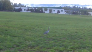 Mindfulness sees the unexpected heron in a field along a busy road.