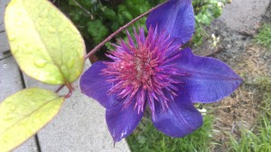A lovely flower to start the morning. Clematis on a rainy day.
