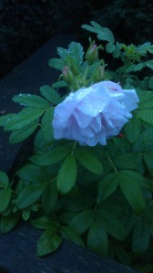 The last of the autumn roses, at dawn.