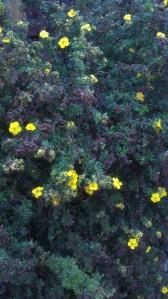 A shrub in bloom.
