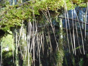 A mossy tree hung with pine needles.