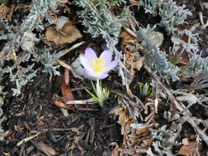 One small crocus getting a head start on spring.