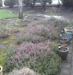Heather. Lovely, evergreen, not what I want in that space.