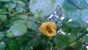 """""""Baby Love"""" rose [Scrivens, 1992] first to bloom in my garden this year."""