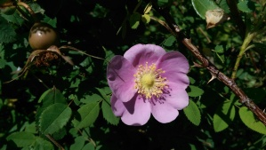 The wild roses were in bloom, pretty much everywhere.