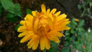 A rainy day flower. Beauty needs no excuse.