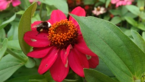 ...and mornings chilly enough to catch bumble bees napping.