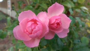 Lovely autumn roses; more beautiful because they are unexpected.