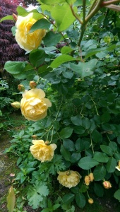 Do roses wait to bloom?