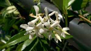 The heavy scent of summer jasmine reminds me of my childhood home. I wonder why I haven't gotten a potted one for my patio yet?
