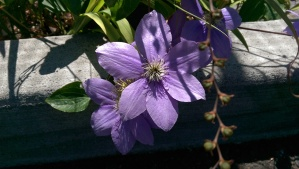 Clematis on a summer morning is lovely even when I hurt.