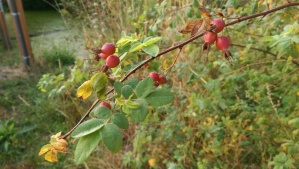 Autumn rose hips.