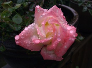 Raindrops on a rose named
