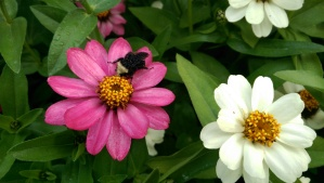 On chilly mornings I see bumblebees sleeping among the flowers.