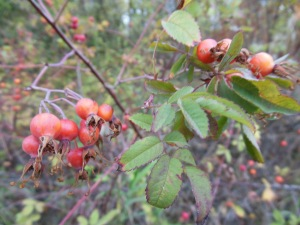 Autumn rose hips along the trail.