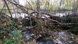 A dam is a complicated feat. I find myself wondering if a beaver's life's work has meaning for the beaver.
