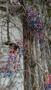 Colorful berries and vines remain after all the leaves have fallen.
