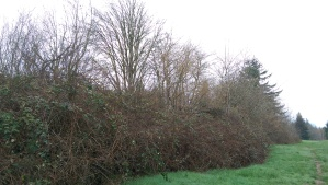 Impermanence - a blackberry hedge that will be removed when the road goes through.