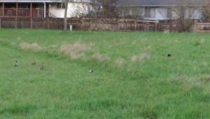 Who's 'right'? The ducks or the waiting cat crouched in the grass?