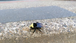 A chilly bumble bee, tired and cold and waiting on the warmth of the day.