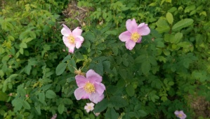 The first wild roses of the spring.