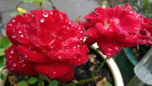 Roses and a rainy day. One moment of many.