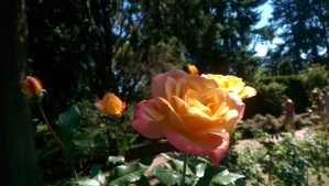 Roses love sunshine.
