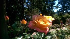 Roses love sunshine.