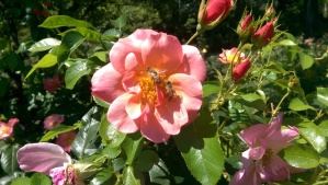 Bees enjoy roses also.