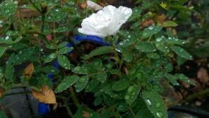 There is time to consider raindrops on roses.