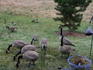 An entire flock of Canada geese stopped by.